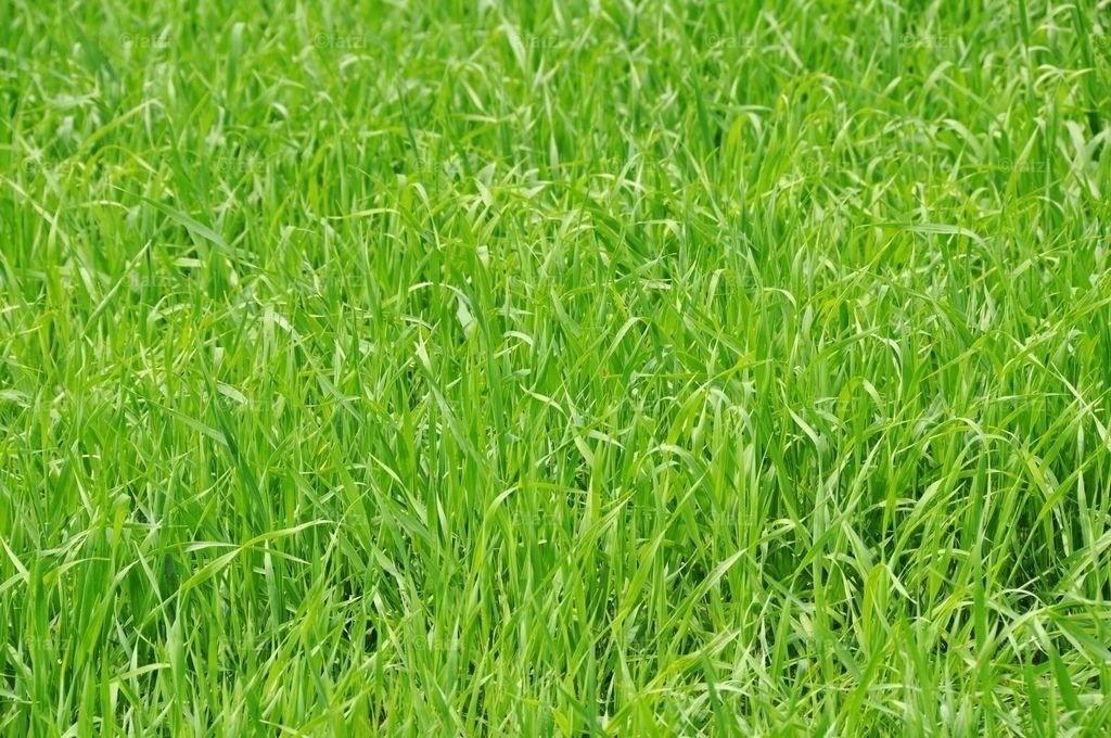 Wiese-Gras-chf