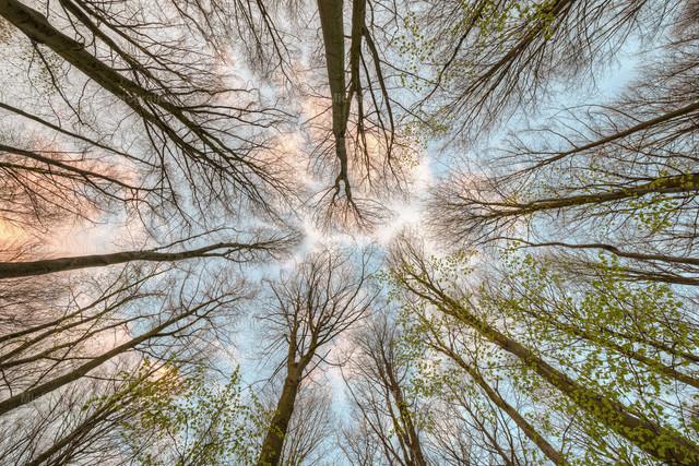 Blick in die Baumkronen | Blick nach oben in die Baumkronen eines noch lichten Buchenwalds im Frühjahr.