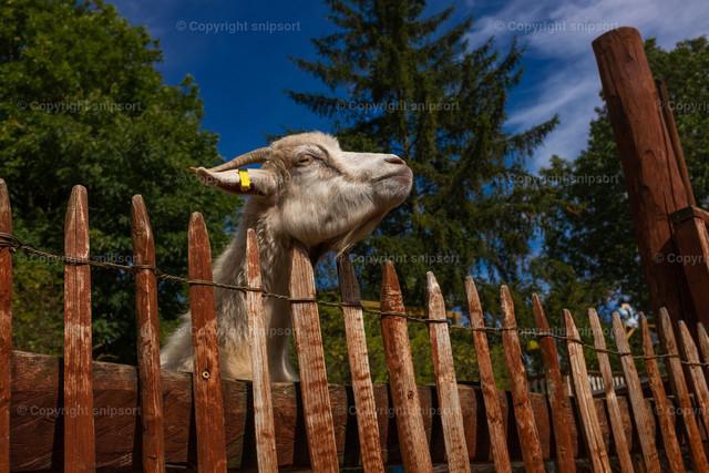 Weiße Ziege am Zaun
