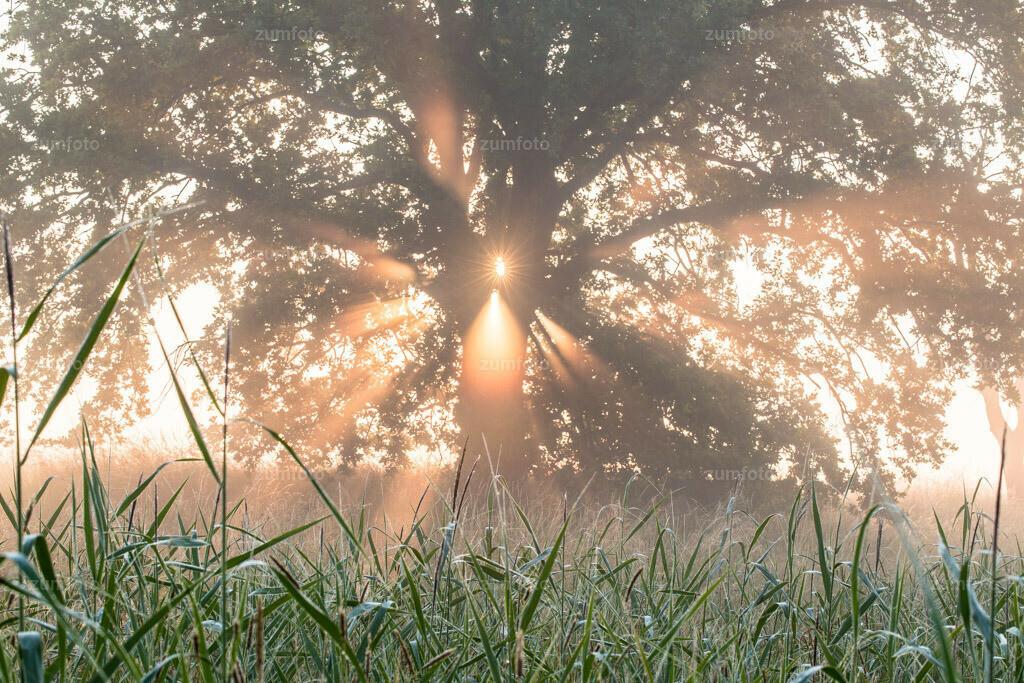 0-130708_0447-9191 | --Dateigröße 5760 x 3840 Pixel-- Sonnenstrahlen scheinen durch Baum im Nebel.