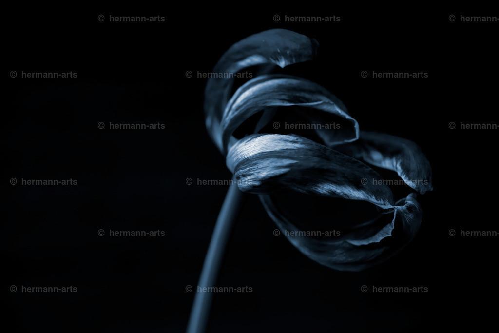 Tulipa_05_20_DPP-2