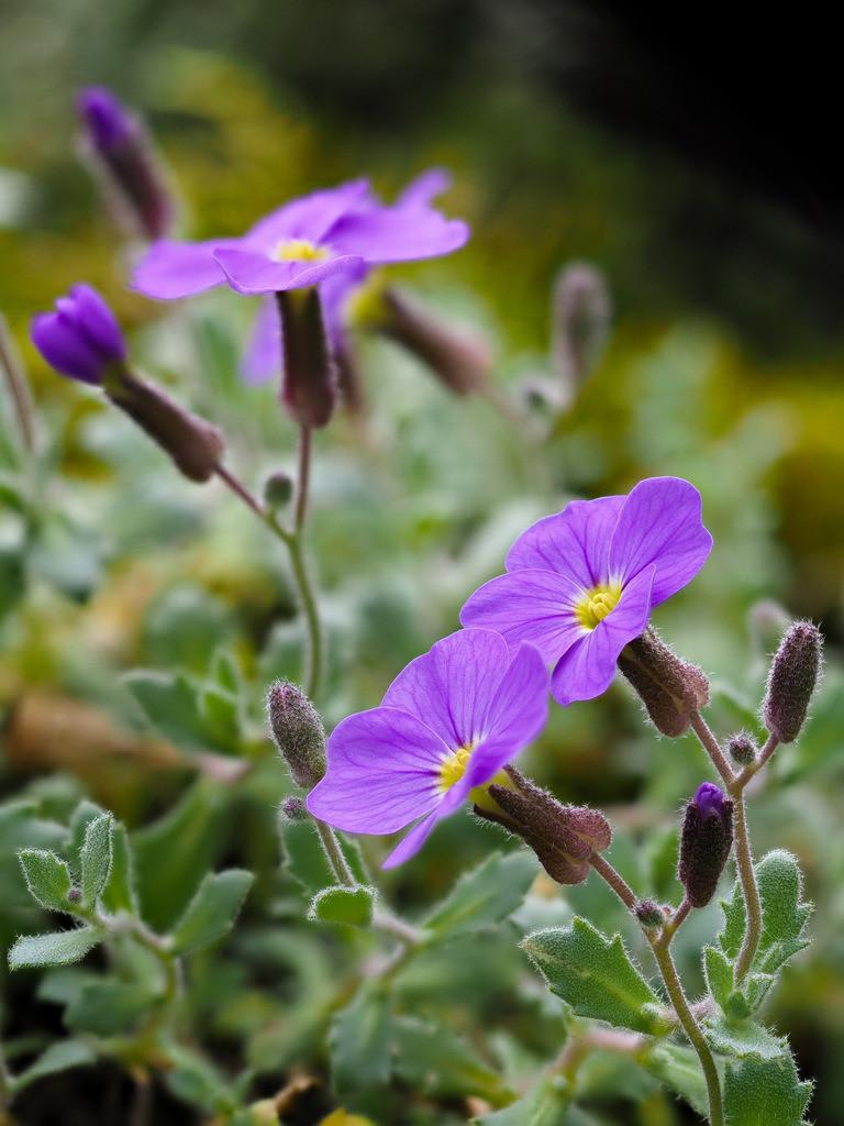 Blaukissen - Aubrieta | Blüten eines Blaukissens (Aubrieta).