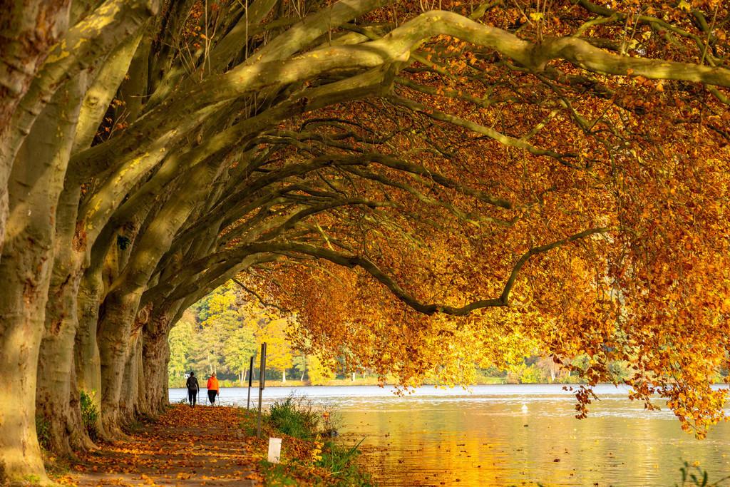 JT-201029 | Platanen Allee, Uferweg am Baldeneysee, bei Haus Scheppen, in Essen, Herbst, NRW, Deutschland,