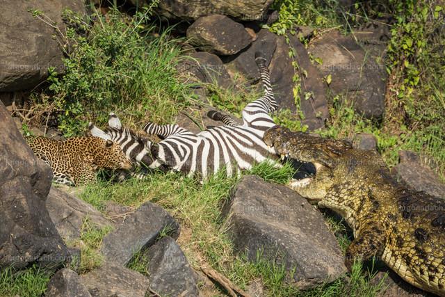 Leopardattacke und Attacke des Krokodils | Während der Leopard das Zebra erstickt, nähert sich das Krokodil um seinen Anteil zu erhalten.