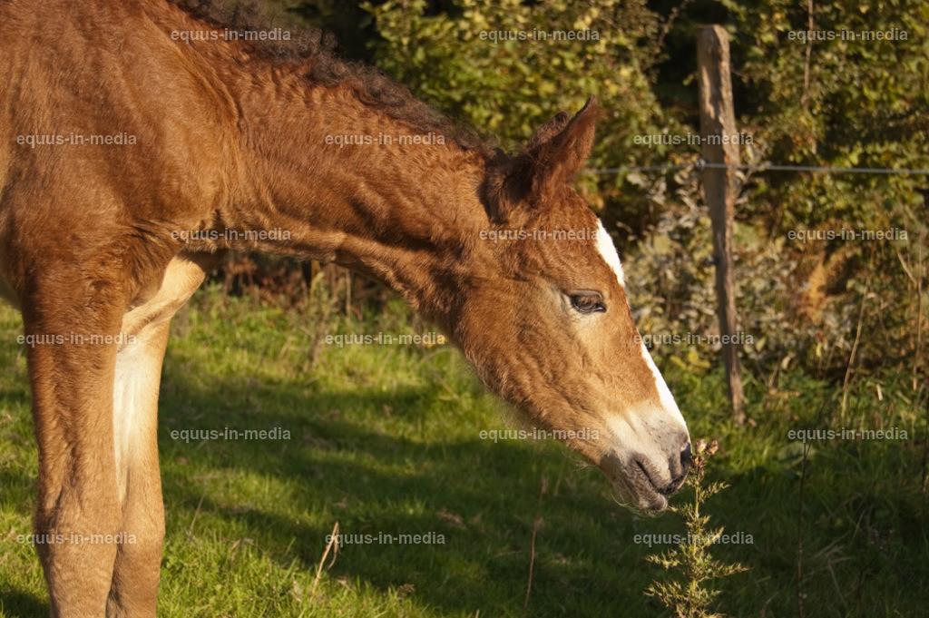 20100922-DSC_9910   Curly Horse Fohlen