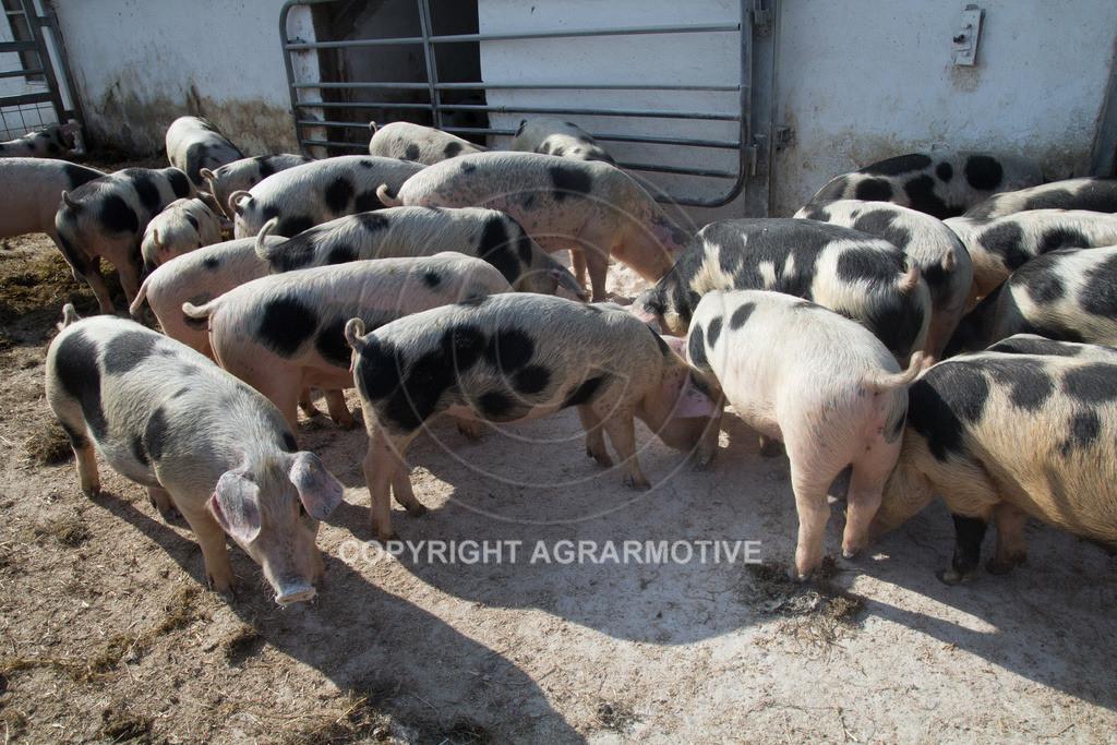 20130425-_MG_6225 | Bioschweine - AGRARMOTIVE Bilder aus der Landwirtschaft