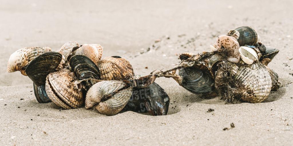 _DSC2998-Bearbeitet-Bearbeitet | Muscheln am Strand von St. Peter-Ording