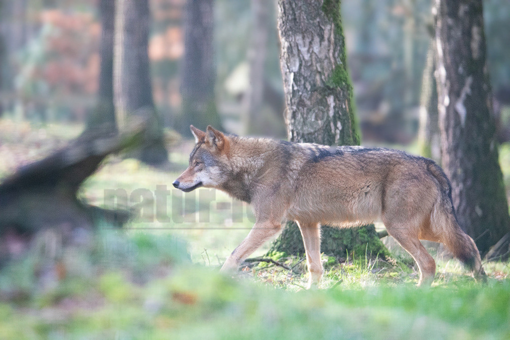 20200126-663A7049 | Wölfe sind sehr anpassungsfähig und bewohnen die unterschiedlichsten Gegenden, von den arktischen Tundren bis zu den Wüsten Nordamerikas und Zentralasiens. Einst war der Wolf eines der am weitesten verbreiteten Säugetierarten der Welt.