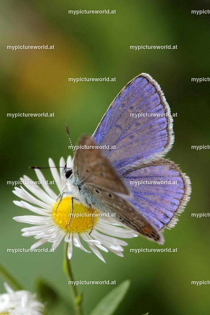 Polyommatus icarus-025