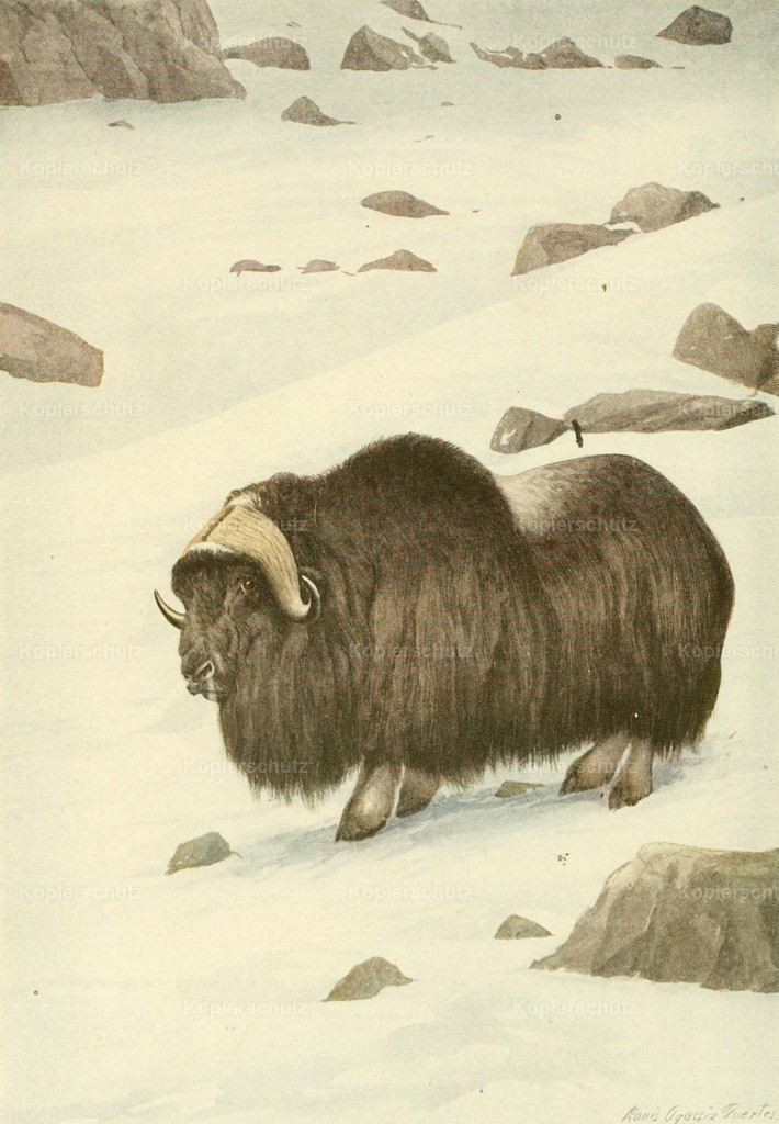 Fuertes_ L.A. (1874-1927) - Wild Animals of N. America 1918 - Musk Ox