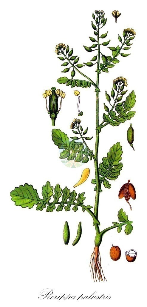 Historical drawing of Rorippa palustris (Marsh Yellow-cress)   Historical drawing of Rorippa palustris (Marsh Yellow-cress) showing leaf, flower, fruit, seed