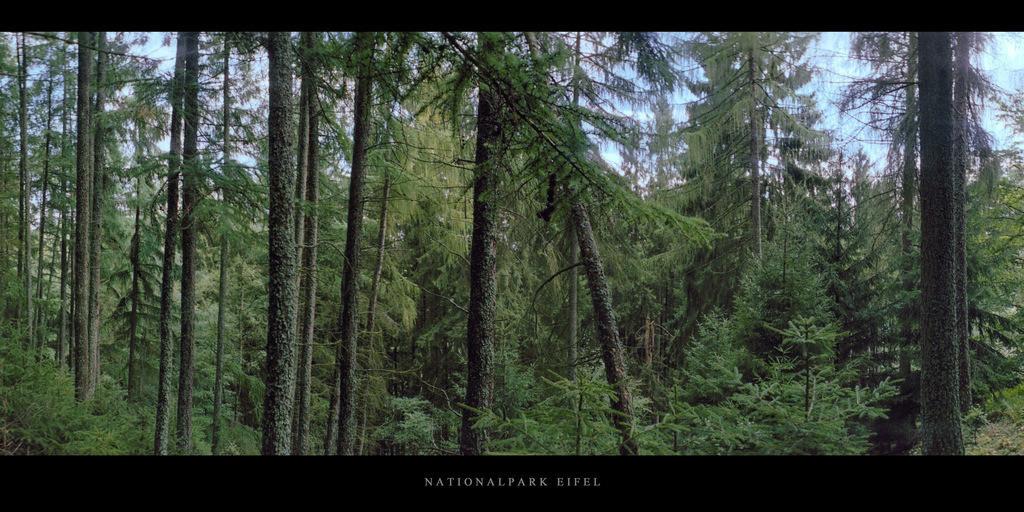 Nationalpark Eifel | Nadelwald mit Fichten und Kiefern im Nationalpark und Mittelgebirge Eifel