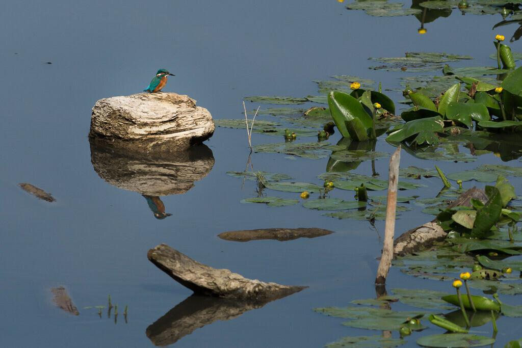 Eisvogel am Chiemsee