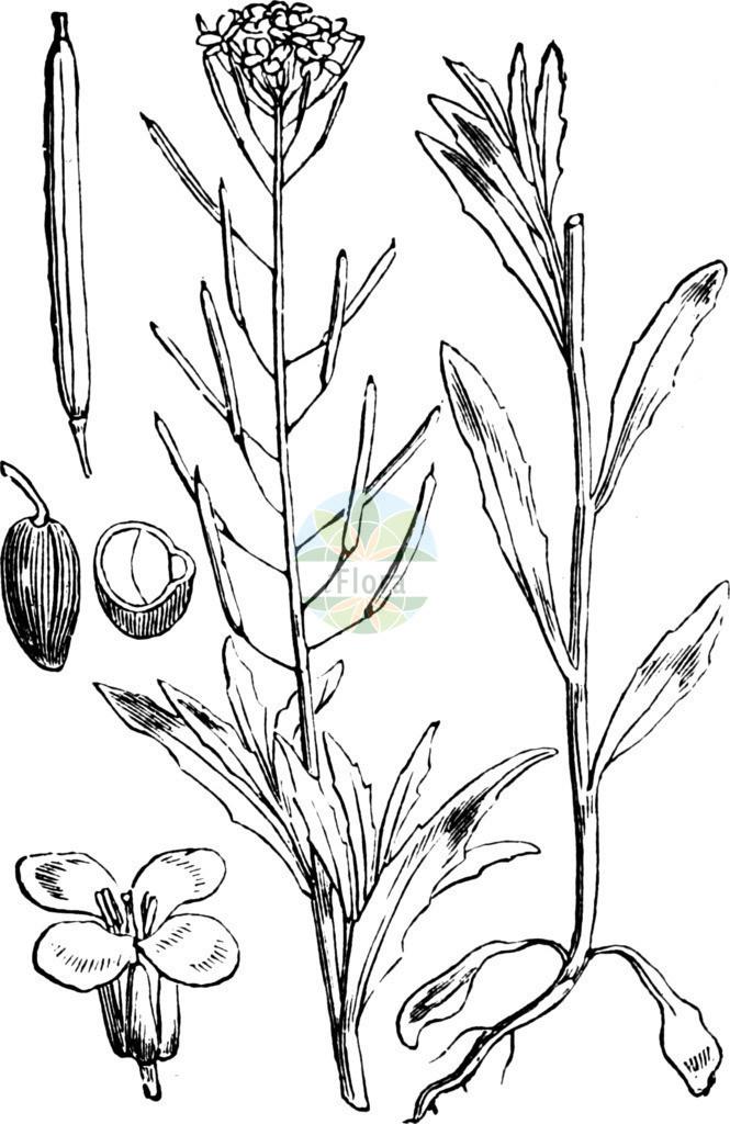 Erysimum cheiranthoides (Acker-Schoeterich - Treacle-mustard) | Historische Abbildung von Erysimum cheiranthoides (Acker-Schoeterich - Treacle-mustard). Das Bild zeigt Blatt, Bluete, Frucht und Same. ---- Historical Drawing of Erysimum cheiranthoides (Acker-Schoeterich - Treacle-mustard).The image is showing leaf, flower, fruit and seed.