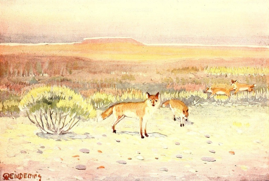 Deming_ E.W. (1860-1942) - American Animal Life 1916 - Red Foxes