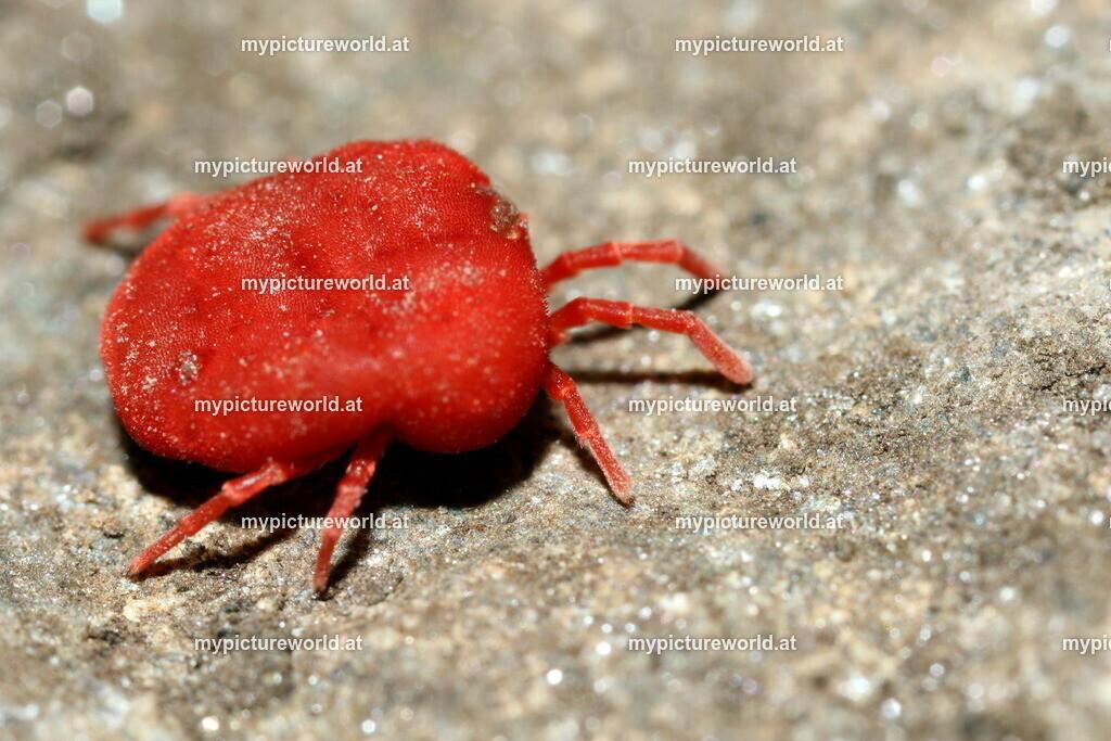 Rote Samtmilbe-001