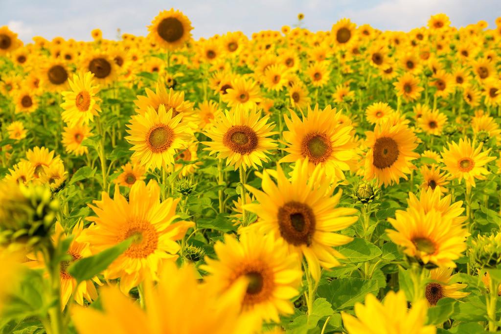 JT-161007-027 | Sonnenblumen Feld, viele Sonnenblumen, Helianthus annuus,