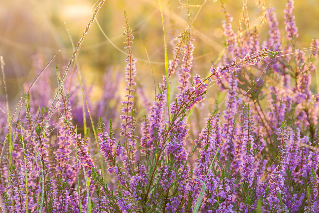 Heidekraut   Blumenmotiv