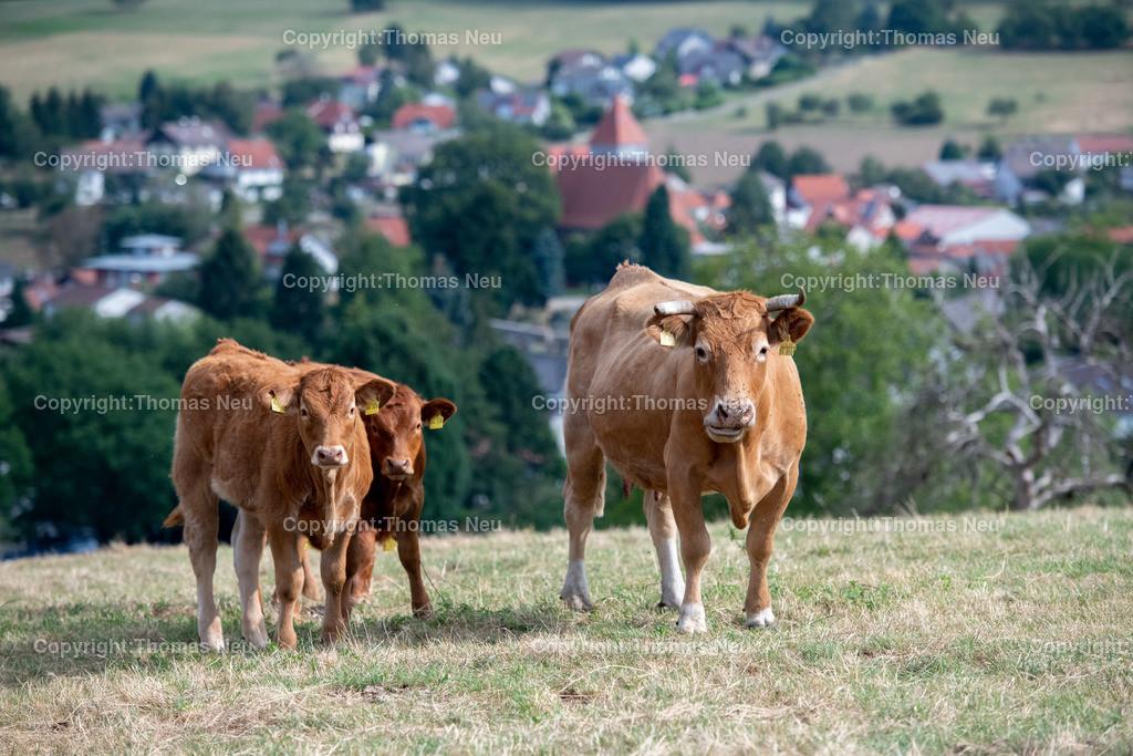 DSC_3794 | Lautertal, bli,Gadernheim, glückliche Kühe die nicht im Stall sondern im Freien mit ihren Kälbern grasen dürfen, dem Fotografen aber waren die Kühe skeptisch eingestellt und der Blick zeigt dass man lieber die Distanz wahren sollte, was in Corona Zeiten ja  schon in Fleisch und blut übergegangen ist, ,, Bild: Thomas Neu