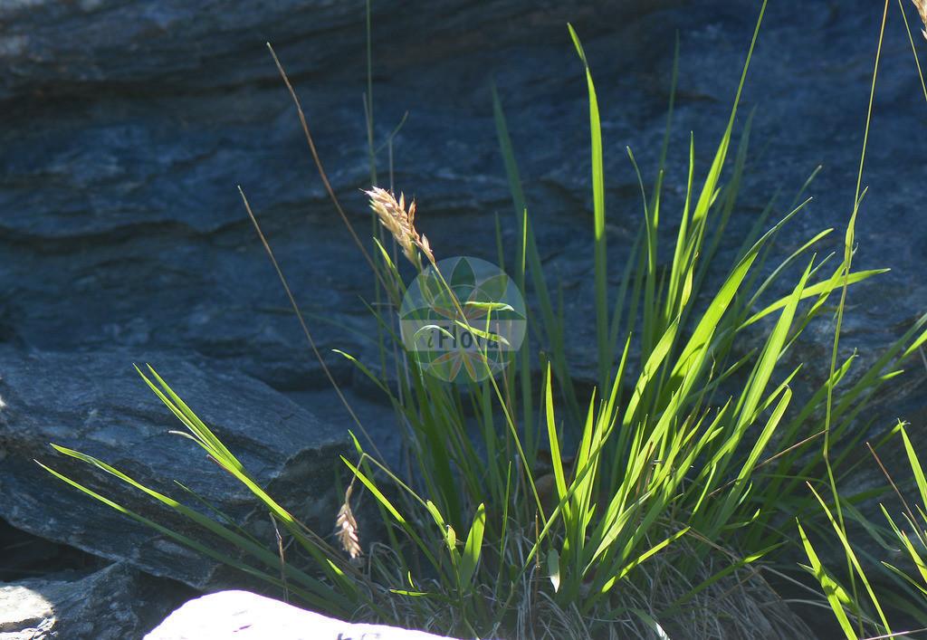 Anthoxanthum alpinum (Alpen-Ruchgras - Alpine Bentgrass)   Foto von Anthoxanthum alpinum (Alpen-Ruchgras - Alpine Bentgrass). Das Foto wurde in Oslo, Norwegen aufgenommen. ---- Photo of Anthoxanthum alpinum (Alpen-Ruchgras - Alpine Bentgrass).The picture was taken in Oslo, Norway.