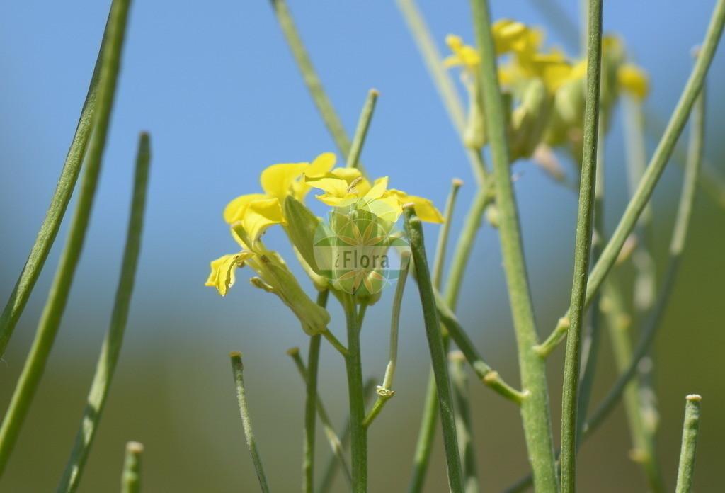 Erysimum crepidifolium (Bleicher Schoeterich - Pale Wallflower) | Foto von Erysimum crepidifolium (Bleicher Schoeterich - Pale Wallflower). Das Bild zeigt Bluete und Frucht. Das Foto wurde in Nahetal, Bad Kreuznach, Rheinland-Pfalz, Deutschland, Saar-Nahe Bergland aufgenommen. ---- Photo of Erysimum crepidifolium (Bleicher Schoeterich - Pale Wallflower).The image is showing flower and fruit.The picture was taken in Nahe valley, Bad Kreuznach, Rhineland-Palatinate, Germany, Saar-Nahe Bergland.