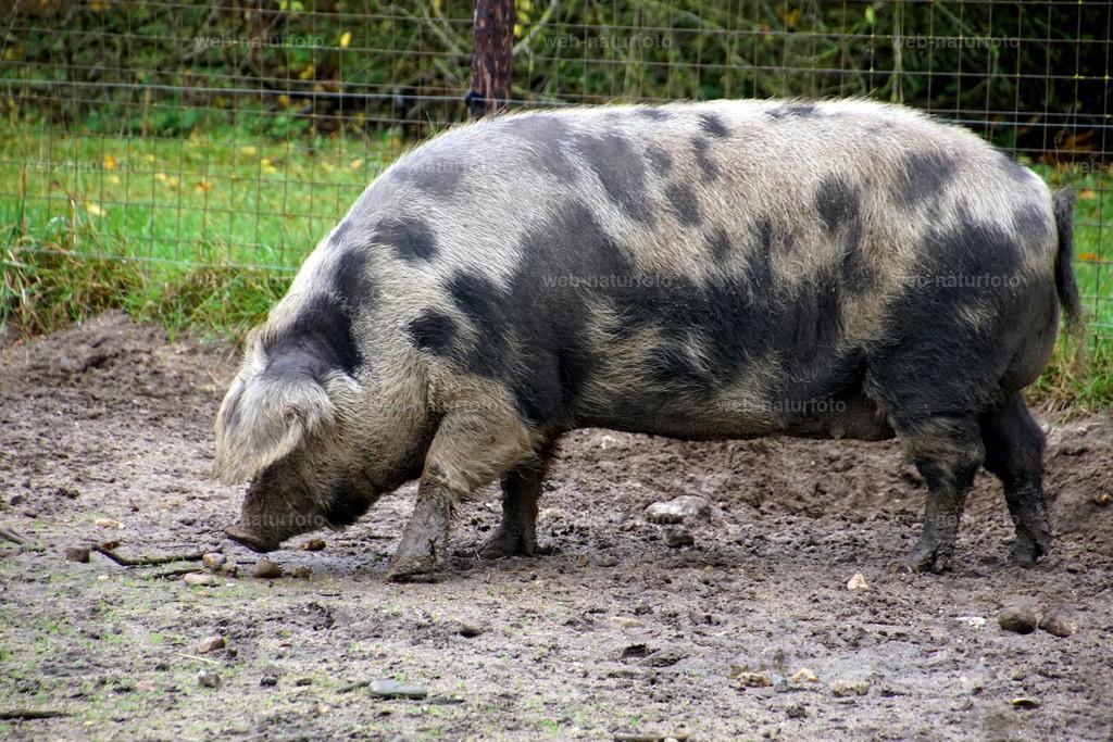 DSC00108   Turopolje Schwein  (Eber)  (schwimmt)