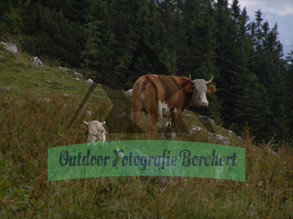 FIL4495 | Almkühe, Chiemgauer Alpen, Bayern, Deutschland