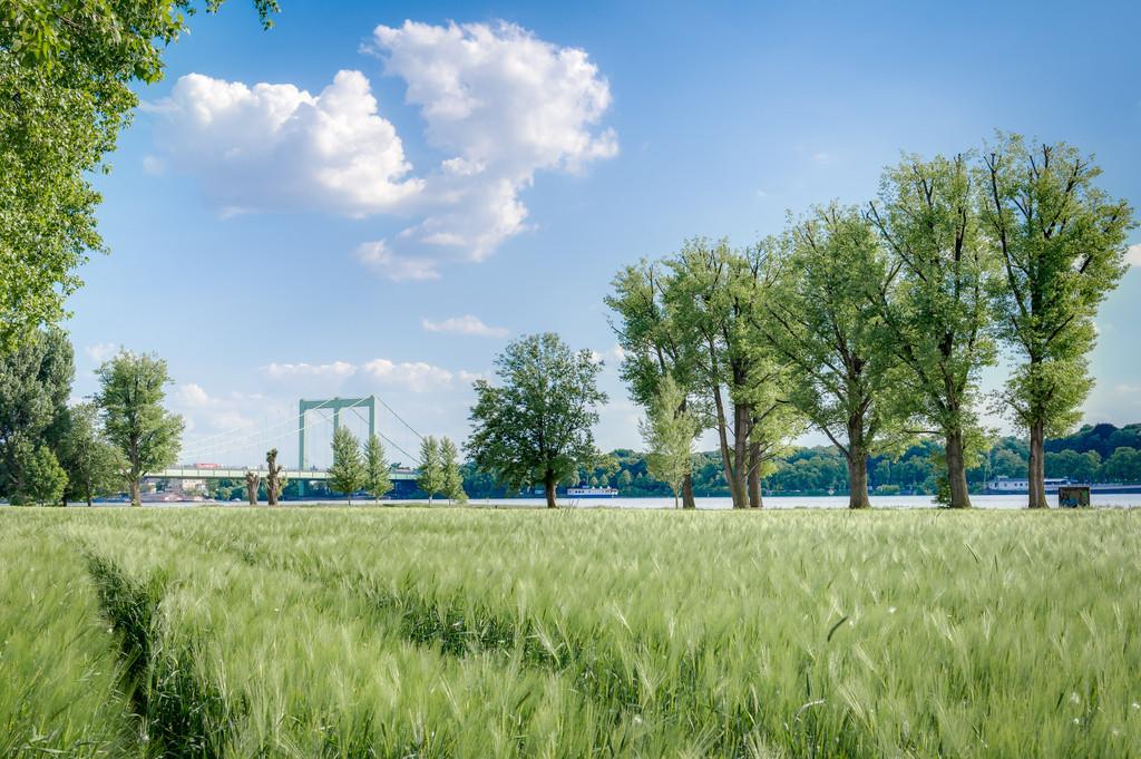 Rodenkirchener Brücke mit Weizenfeld