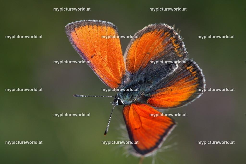 Lycaena hippothoe-013
