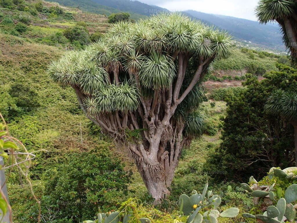 P6285997 | Drachenbaum bei Gallegos auf La Palma
