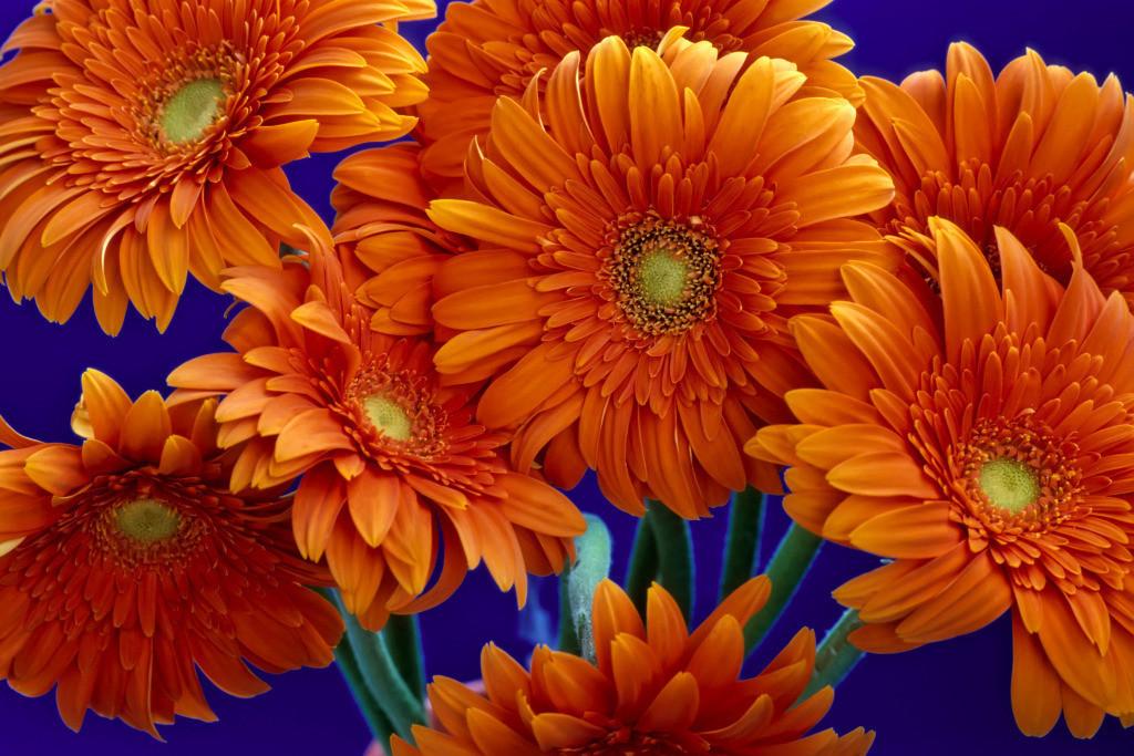 Best. Nr. freunde01 | Orangefarbener Gerberastrauß
