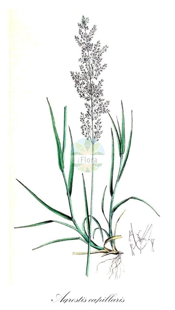 Historical drawing of Agrostis capillaris (Common Bent) | Historical drawing of Agrostis capillaris (Common Bent) showing leaf, flower, fruit, seed