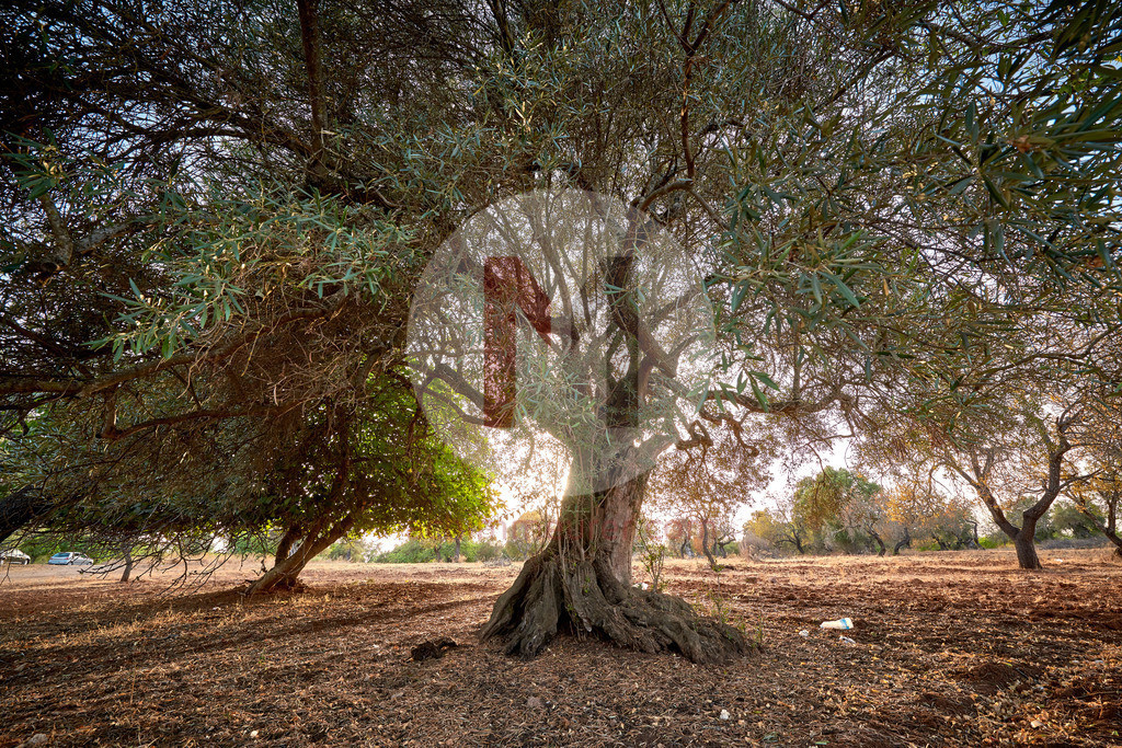 Alte Olivenbäume an der Algarve in Portugal