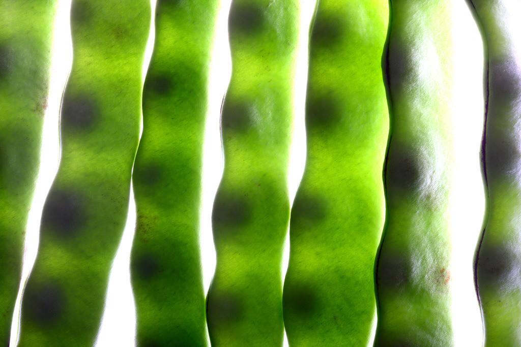 Gemuese | Gemüse. Ackerbohne (Vicia faba), Breite Bohne.