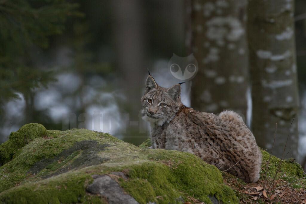 20080215_15200615246 | Die Luchse sind eine Gattung in der Familie der Katzen. Alle vier heute lebenden Arten kommen auf der Nordhalbkugel vor: Der Eurasische Luchs ist in weiten Teilen Europas und Asiens verbreitet.