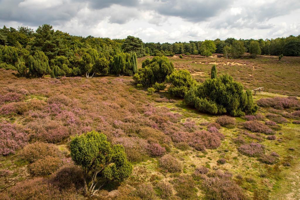 JT-171112-101 | Die Westruper Heide, im Naturpark Hohe Mark Westmünsterland, bei Haltern, Heideblüte,
