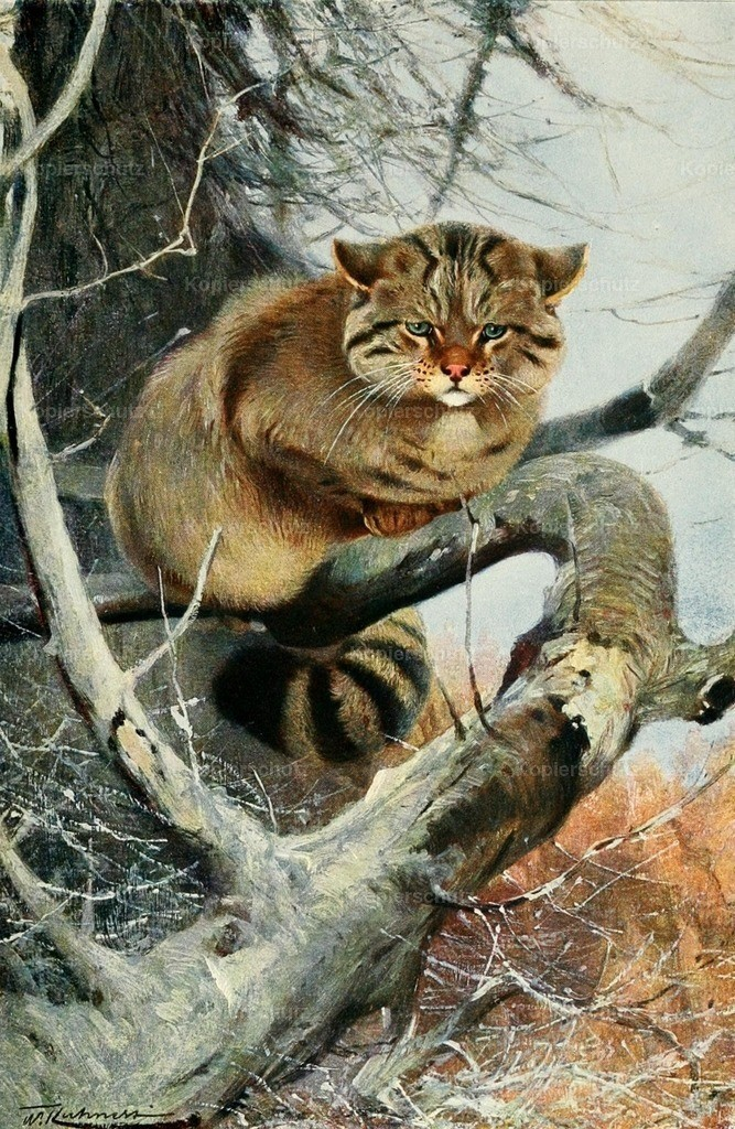 Kuhnert_ F.W. (1865-1926) - Wild Life of the World 1916 - Wild Cat