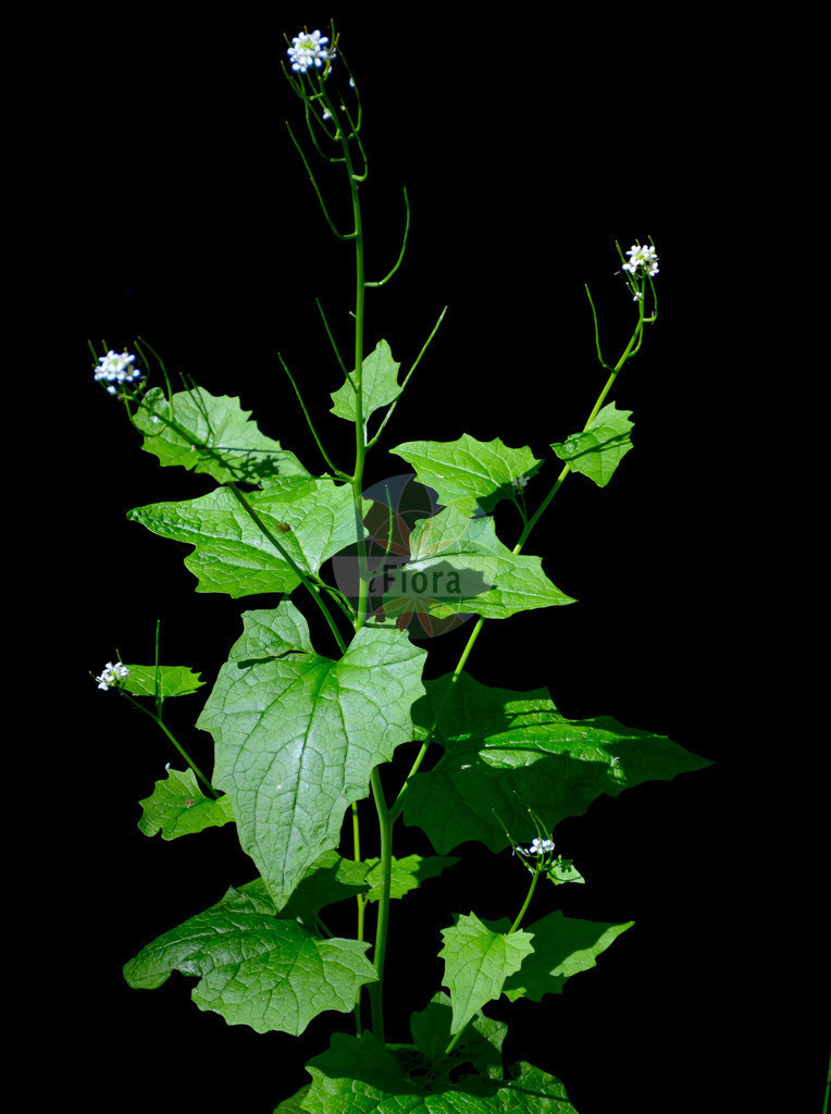 Alliaria petiolata (Knoblauchsrauke - Garlic Mustard) | Foto von Alliaria petiolata (Knoblauchsrauke - Garlic Mustard). Das Foto wurde in Breisgau-Hochschwarzwald, Baden-Wuerttemberg, Deutschland, Schwarzwald aufgenommen. ---- Photo of Alliaria petiolata (Knoblauchsrauke - Garlic Mustard).The picture was taken in Breisgau-Hochschwarzwald, Baden-Wuerttemberg, Germany, Schwarzwald.