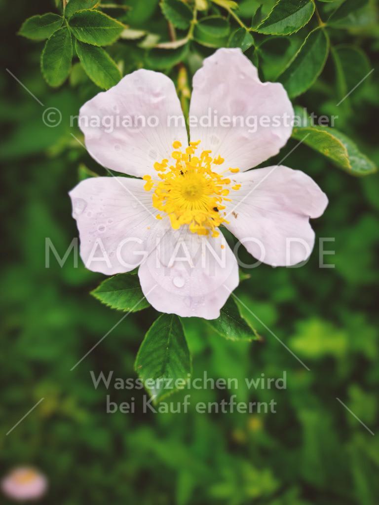 Wildrose frontal