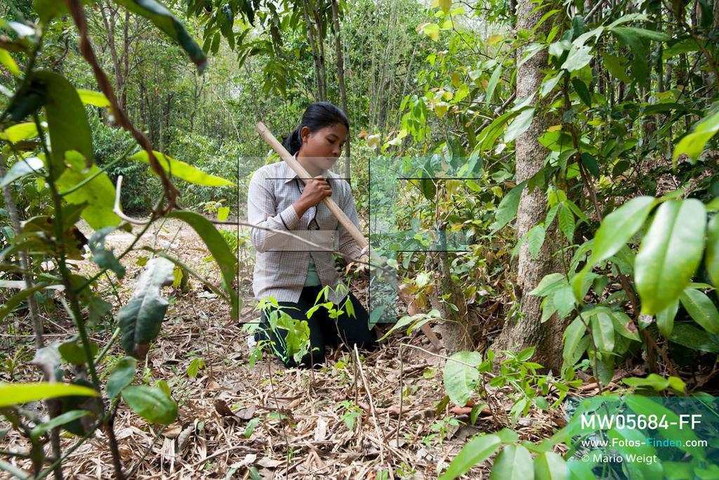 MW05684-FF | Kambodscha | Provinz Kampong Cham | Skoun | Reportage: Kambodschas achtbeiniger Snack | Shin ist mit ihren Freundinnen auf Vogelspinnenjagd. Sie vergrößert ein Loch, in dem eine Spinne lebt. In heißem Öl knusprig gebraten, mit Glutamat, Salz und Zucker vermischt und obendrein mit hauchdünnen Knoblauchscheiben verfeinert - so mögen die Kambodschaner ihre schwarzen Vogelspinnen.  ** Feindaten bitte anfragen bei Mario Weigt Photography, info@asia-stories.com **
