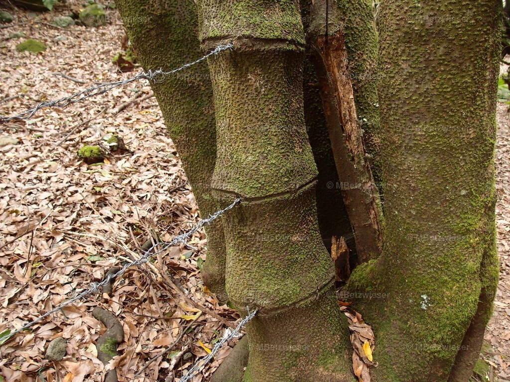 P3085210   Stacheldraht würgt den Stamm. Die Natur weiß sich zu helfen.