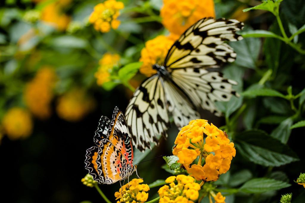 Doppelpack der Farben | Welche Kraft und Anmut strömt aus 2 Gramm Schmetterling.   Pascal Lachenmeier