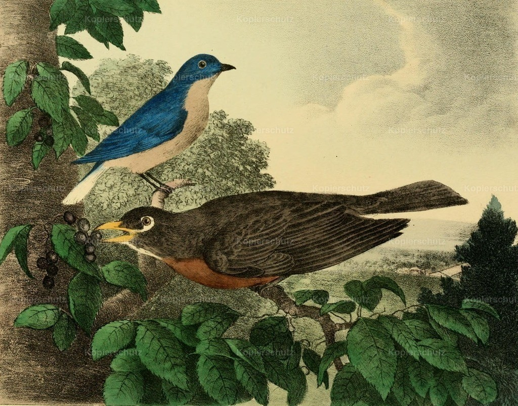 Doughty_ T. (1793-1856) - Cabinet of Natural History 1830 - Bluebird _ Robin