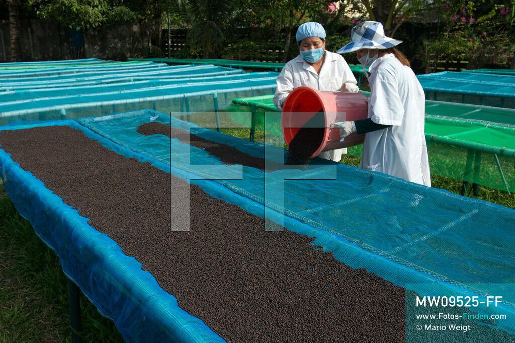 MW09525-FF | Kambodscha | Kampot | Reportage: Pfeffer aus Kampot | Sonnentrocknung des Pfeffers (Piper nigrum) bei der Firma Farm Link Ltd. in Kampot. In der Umgebung von Kampot und Kep gibt es zahlreiche Pfefferplantagen.   ** Feindaten bitte anfragen bei Mario Weigt Photography, info@asia-stories.com **