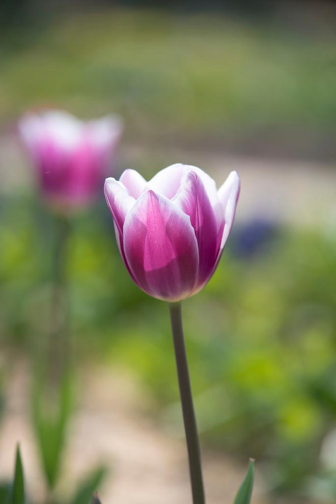 tulpe tulln
