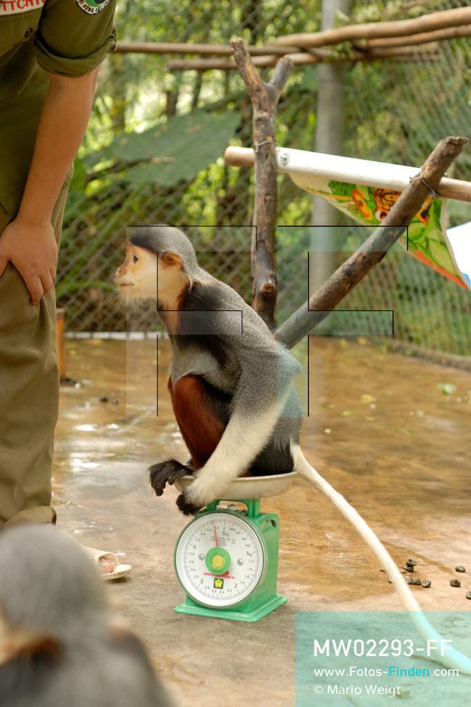MW02293-FF | Vietnam | Provinz Ninh Binh | Reportage: Endangered Primate Rescue Center | Aufzuchtstation für Affenbabys. Hier werden die Rotgeschenkligen Kleideraffen einmal am Tag gewogen. Der Deutsche Tilo Nadler leitet das Rettungszentrum für gefährdete Primaten im Cuc-Phuong-Nationalpark.   ** Feindaten bitte anfragen bei Mario Weigt Photography, info@asia-stories.com **