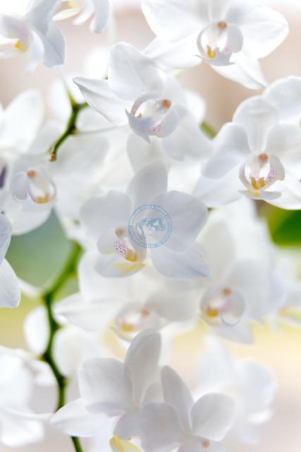 Nahaufnahme weisse Orchideenblüten | DEU, Deutschland, Filderstadt, 02.03.2014, Nahaufnahme weisse Orchideenblüten © 2014 Christoph Hermann, Bild-Kunst Urheber 707707