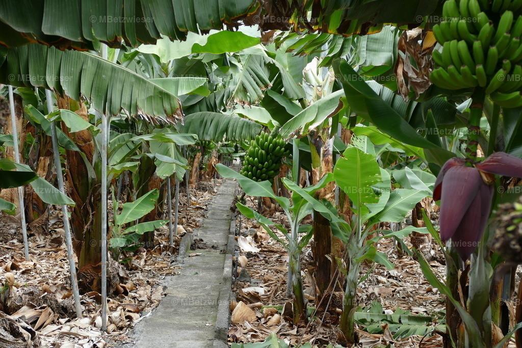 P1000819 | Bananenstauden stehen in Reih und Glied