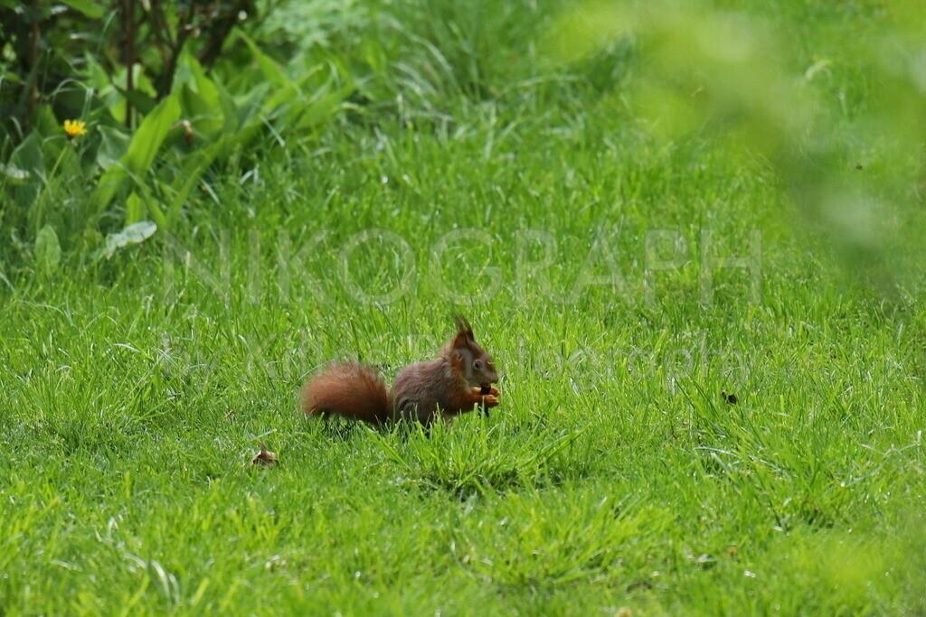 Eichhörnchen  | Ein Eichhörnchen im Gras