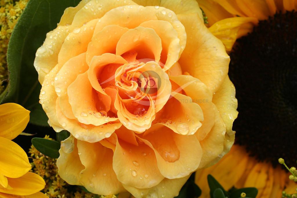 Rose (29)